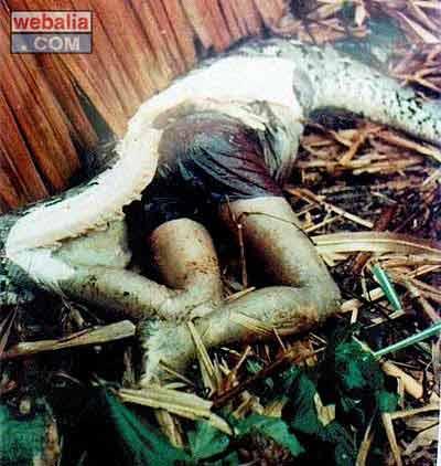 Así mata un boa constrictor Pen_serpiente3