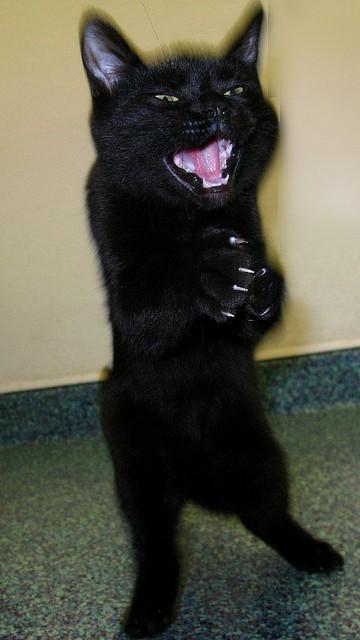 Gato con risa maléfica