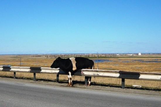 Vaca atrapada