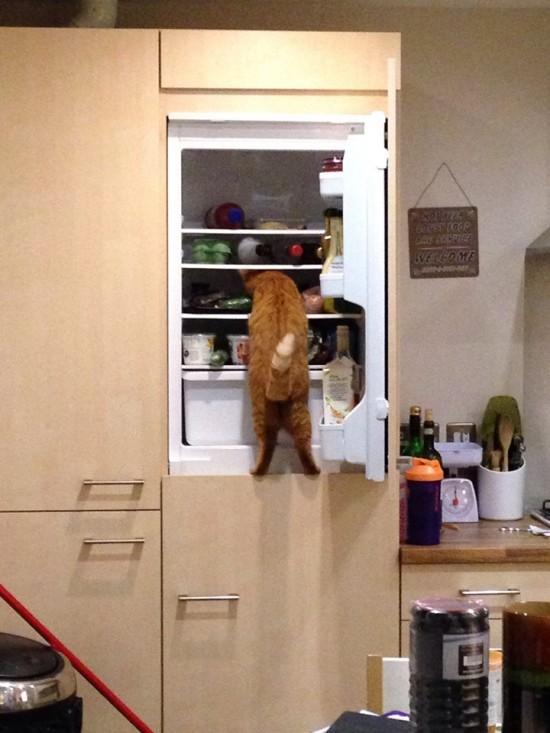 Gato buscando en la nevera