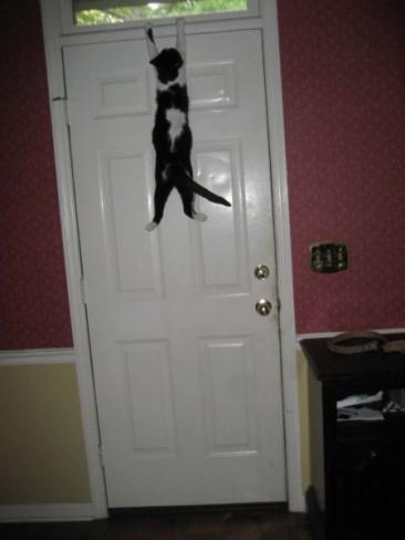 Gato Spiderman