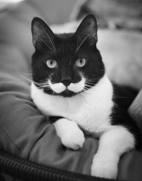 El gato con mostacho