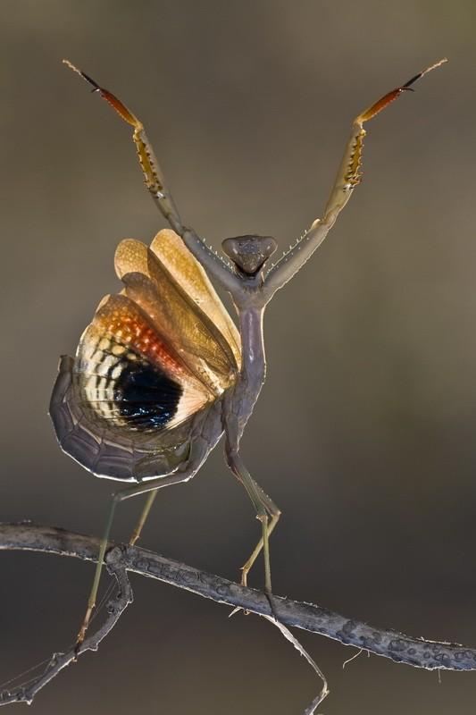 Mantis religiosa posando