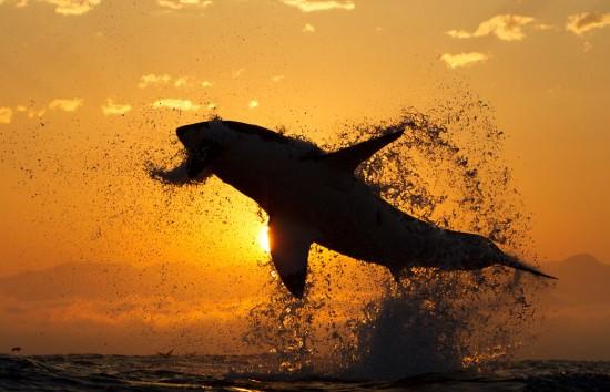Ataque de tiburón a la puesta de Sol