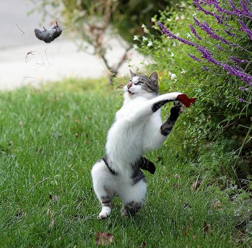 Gato lanzando un ratón