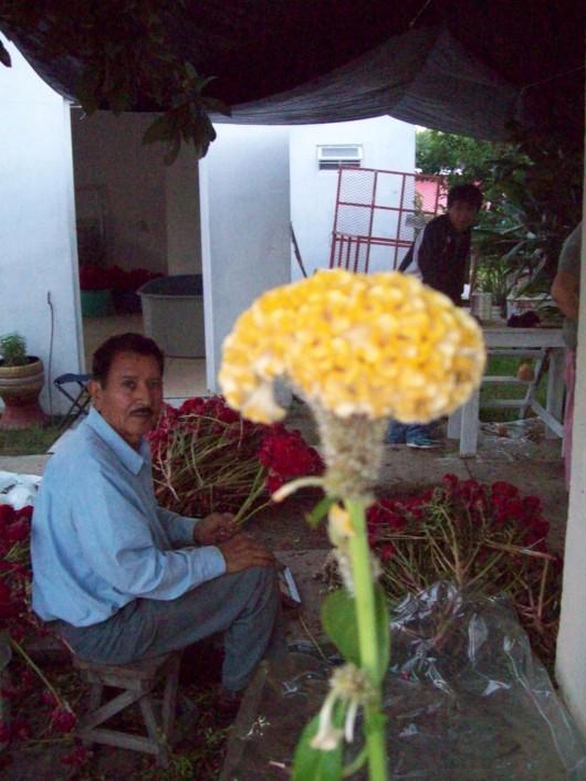 Flor mano de leon (variedad dorada)