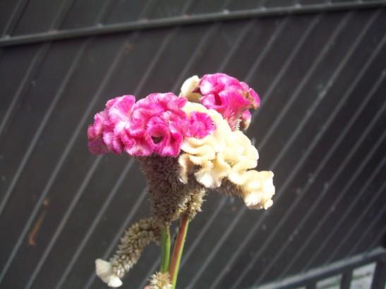 Flores de Mano de Leon o Cresta de Gallo
