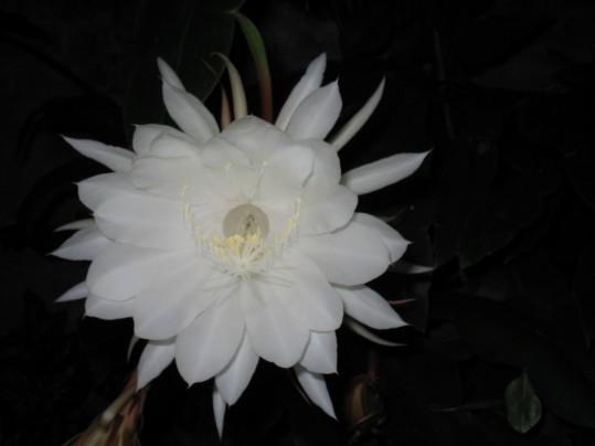 Flor Dama de Noche