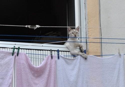 Gatos portugueses genéticamente modificados para tender las toallas