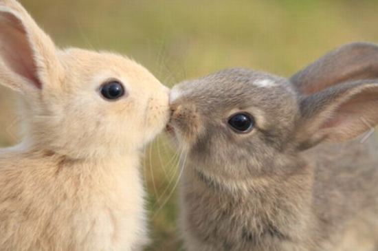 Beso de conejos