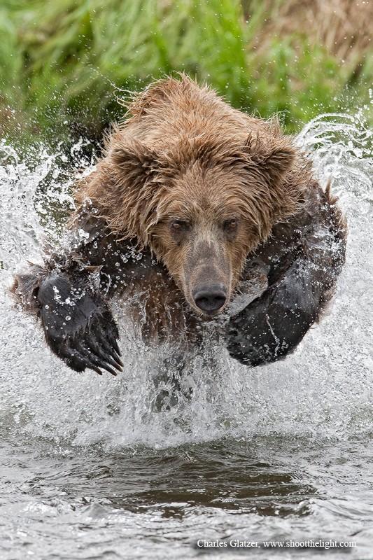 Oso saliendo del agua