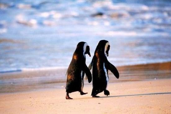 Pingüinos paseando