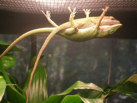 Amor de lagartijas