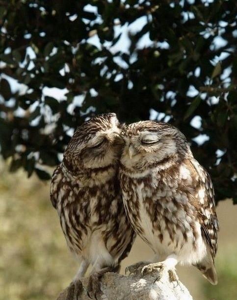 Beso entre búhos
