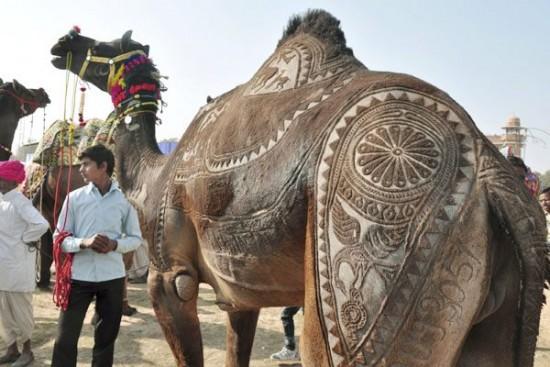 Concurso de peluquería de camellos