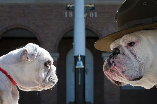Duelo de perros