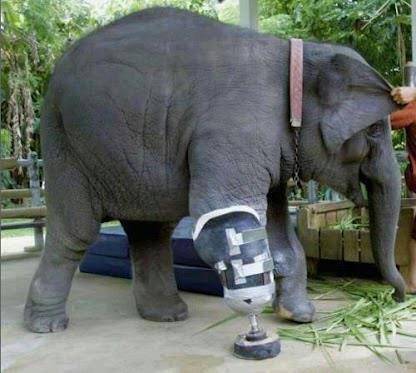 Elefante lesionado