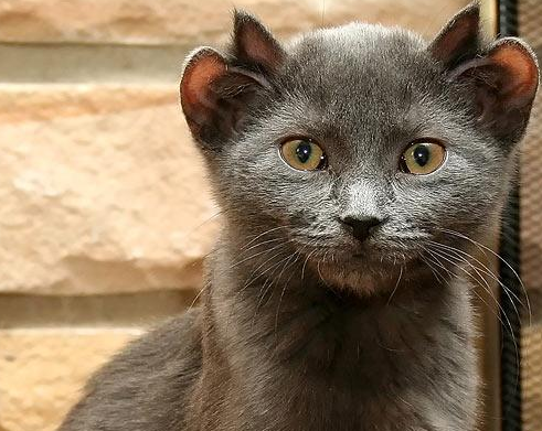 Gato con dos orejas