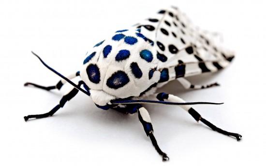 Insecto leopardino