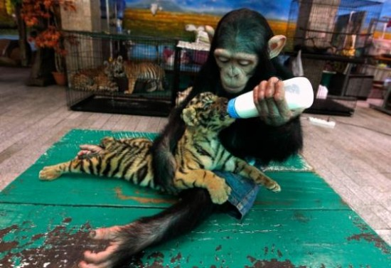 Mono dando el biberón