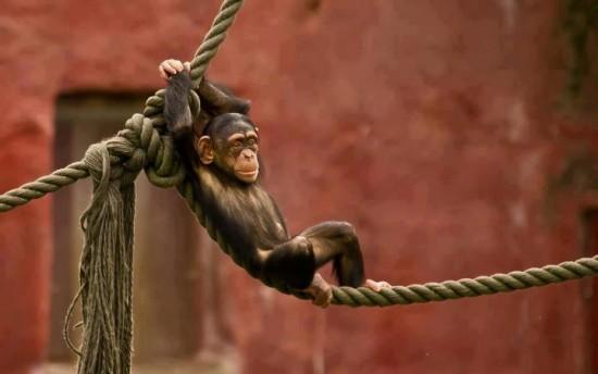 Mono descansando