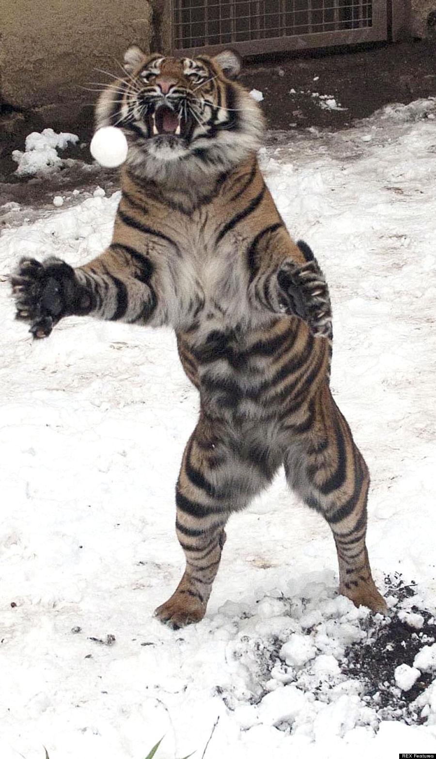 Tigre Jugando Con La Nieve
